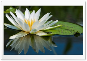 Water Lily Macro HD Wide Wallpaper for Widescreen