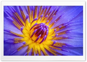 Water Lily Pollen HD Wide Wallpaper for Widescreen