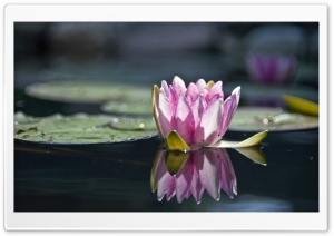 Water Lily Reflection HD Wide Wallpaper for Widescreen