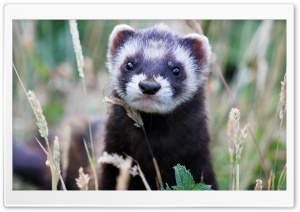 Weasel HD Wide Wallpaper for Widescreen