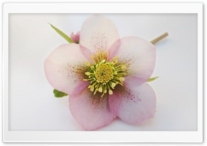Wedding Flower - Helleborus HD Wide Wallpaper for Widescreen