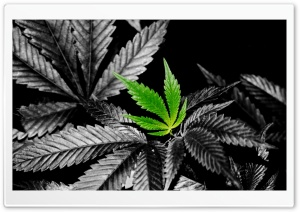 Weed HD Wallpaper In Color HD Wide Wallpaper for Widescreen