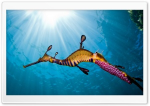 Weedy Sea Dragon HD Wide Wallpaper for 4K UHD Widescreen desktop & smartphone