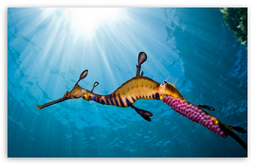Weedy Sea Dragon HD wallpaper for Wide 16:10 5:3 Widescreen WHXGA WQXGA WUXGA WXGA WGA ; HD 16:9 High Definition WQHD QWXGA 1080p 900p 720p QHD nHD ; Standard 4:3 5:4 3:2 Fullscreen UXGA XGA SVGA QSXGA SXGA DVGA HVGA HQVGA devices ( Apple PowerBook G4 iPhone 4 3G 3GS iPod Touch ) ; iPad 1/2/Mini ; Mobile 4:3 5:3 3:2 16:9 5:4 - UXGA XGA SVGA WGA DVGA HVGA HQVGA devices ( Apple PowerBook G4 iPhone 4 3G 3GS iPod Touch ) WQHD QWXGA 1080p 900p 720p QHD nHD QSXGA SXGA ;