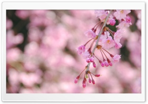 Weeping Cherry Tree HD Wide Wallpaper for Widescreen