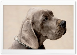 Weimaraner Dog HD Wide Wallpaper for 4K UHD Widescreen desktop & smartphone