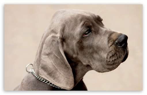 Weimaraner Dog HD wallpaper for Wide 16:10 5:3 Widescreen WHXGA WQXGA WUXGA WXGA WGA ; Standard 4:3 5:4 3:2 Fullscreen UXGA XGA SVGA QSXGA SXGA DVGA HVGA HQVGA devices ( Apple PowerBook G4 iPhone 4 3G 3GS iPod Touch ) ; iPad 1/2/Mini ; Mobile 4:3 5:3 3:2 16:9 5:4 - UXGA XGA SVGA WGA DVGA HVGA HQVGA devices ( Apple PowerBook G4 iPhone 4 3G 3GS iPod Touch ) WQHD QWXGA 1080p 900p 720p QHD nHD QSXGA SXGA ;