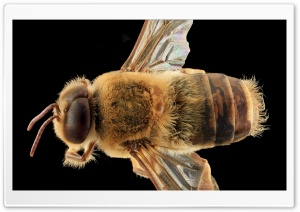 Western Honey Bee Macro, Apis Mellifera HD Wide Wallpaper for Widescreen