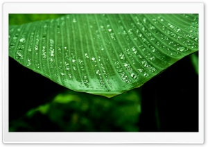 Wet Banana Tree Leaf HD Wide Wallpaper for Widescreen
