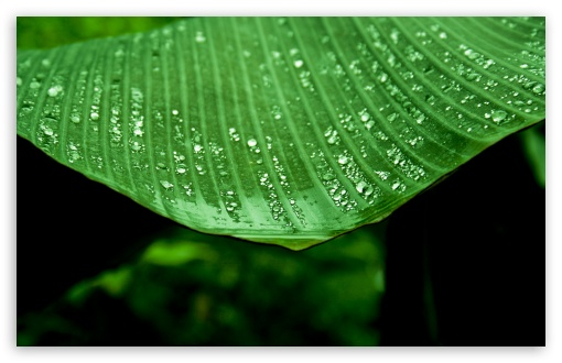 Wet Banana Tree Leaf ❤ 4K UHD Wallpaper for Wide 16:10 5:3 Widescreen WHXGA WQXGA WUXGA WXGA WGA ; 4K UHD 16:9 Ultra High Definition 2160p 1440p 1080p 900p 720p ; Standard 4:3 5:4 3:2 Fullscreen UXGA XGA SVGA QSXGA SXGA DVGA HVGA HQVGA ( Apple PowerBook G4 iPhone 4 3G 3GS iPod Touch ) ; Tablet 1:1 ; iPad 1/2/Mini ; Mobile 4:3 5:3 3:2 16:9 5:4 - UXGA XGA SVGA WGA DVGA HVGA HQVGA ( Apple PowerBook G4 iPhone 4 3G 3GS iPod Touch ) 2160p 1440p 1080p 900p 720p QSXGA SXGA ; Dual 16:10 5:3 16:9 4:3 5:4 WHXGA WQXGA WUXGA WXGA WGA 2160p 1440p 1080p 900p 720p UXGA XGA SVGA QSXGA SXGA ;