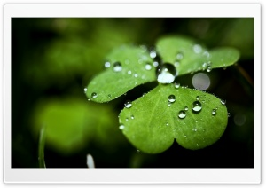 Wet Clover HD Wide Wallpaper for Widescreen