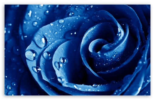 Wet Drops Blue Rose HD desktop wallpaper : Widescreen : High