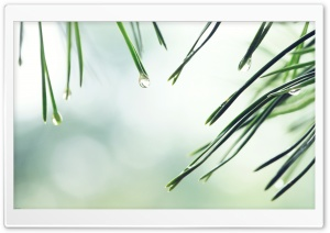 Wet Fir Tree Needles HD Wide Wallpaper for 4K UHD Widescreen desktop & smartphone