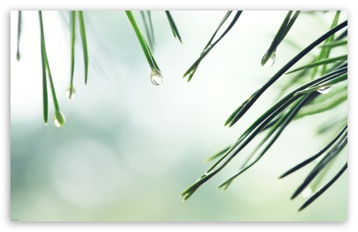 Wet Fir Tree Needles HD wallpaper for Wide 16:10 5:3 Widescreen WHXGA WQXGA WUXGA WXGA WGA ; HD 16:9 High Definition WQHD QWXGA 1080p 900p 720p QHD nHD ; Standard 3:2 Fullscreen DVGA HVGA HQVGA devices ( Apple PowerBook G4 iPhone 4 3G 3GS iPod Touch ) ; Tablet 1:1 ; iPad 1/2/Mini ; Mobile 4:3 5:3 3:2 16:9 - UXGA XGA SVGA WGA DVGA HVGA HQVGA devices ( Apple PowerBook G4 iPhone 4 3G 3GS iPod Touch ) WQHD QWXGA 1080p 900p 720p QHD nHD ;