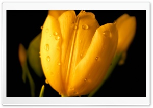 Wet Flower HD Wide Wallpaper for Widescreen