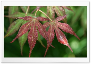 Wet Japanese Maple Leaves HD Wide Wallpaper for Widescreen