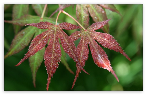 Wet Japanese Maple Leaves HD wallpaper for Wide 16:10 5:3 Widescreen WHXGA WQXGA WUXGA WXGA WGA ; HD 16:9 High Definition WQHD QWXGA 1080p 900p 720p QHD nHD ; UHD 16:9 WQHD QWXGA 1080p 900p 720p QHD nHD ; Standard 4:3 5:4 3:2 Fullscreen UXGA XGA SVGA QSXGA SXGA DVGA HVGA HQVGA devices ( Apple PowerBook G4 iPhone 4 3G 3GS iPod Touch ) ; iPad 1/2/Mini ; Mobile 4:3 5:3 3:2 16:9 5:4 - UXGA XGA SVGA WGA DVGA HVGA HQVGA devices ( Apple PowerBook G4 iPhone 4 3G 3GS iPod Touch ) WQHD QWXGA 1080p 900p 720p QHD nHD QSXGA SXGA ;