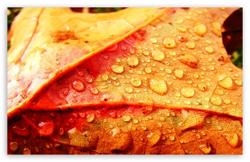 Wet Leaf HD wallpaper for Wide 16:10 Widescreen WHXGA WQXGA WUXGA WXGA ; Standard 4:3 5:4 3:2 Fullscreen UXGA XGA SVGA QSXGA SXGA DVGA HVGA HQVGA devices ( Apple PowerBook G4 iPhone 4 3G 3GS iPod Touch ) ; Tablet 1:1 ; iPad 1/2/Mini ; Mobile 4:3 3:2 5:4 - UXGA XGA SVGA DVGA HVGA HQVGA devices ( Apple PowerBook G4 iPhone 4 3G 3GS iPod Touch ) QSXGA SXGA ;
