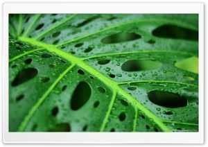 Wet Leaf Ultra HD Wallpaper for 4K UHD Widescreen desktop, tablet & smartphone