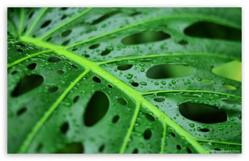 Wet Leaf HD wallpaper for Wide 16:10 5:3 Widescreen WHXGA WQXGA WUXGA WXGA WGA ; HD 16:9 High Definition WQHD QWXGA 1080p 900p 720p QHD nHD ; Standard 4:3 3:2 Fullscreen UXGA XGA SVGA DVGA HVGA HQVGA devices ( Apple PowerBook G4 iPhone 4 3G 3GS iPod Touch ) ; Tablet 1:1 ; iPad 1/2/Mini ; Mobile 4:3 5:3 3:2 16:9 - UXGA XGA SVGA WGA DVGA HVGA HQVGA devices ( Apple PowerBook G4 iPhone 4 3G 3GS iPod Touch ) WQHD QWXGA 1080p 900p 720p QHD nHD ;
