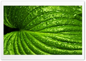 Wet Leaf, Macro HD Wide Wallpaper for Widescreen