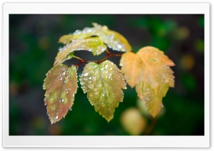Wet Leaves HD Wide Wallpaper for Widescreen