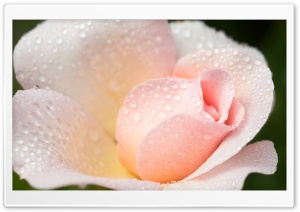 Wet Light Pink Rose HD Wide Wallpaper for Widescreen