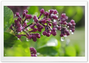 Wet Lilac Buds HD Wide Wallpaper for Widescreen
