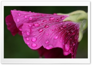 Wet Purple Flower HD Wide Wallpaper for Widescreen