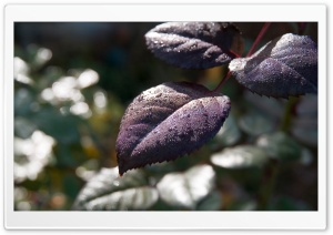 Wet Purple Leaves HD Wide Wallpaper for Widescreen