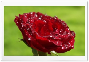 Wet Rose HD Wide Wallpaper for Widescreen