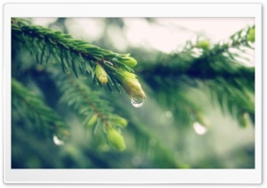 Wet Spruce Twigs HD Wide Wallpaper for Widescreen