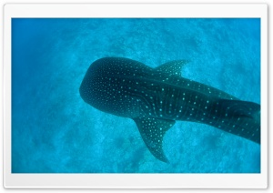 Whale Shark HD Wide Wallpaper for Widescreen