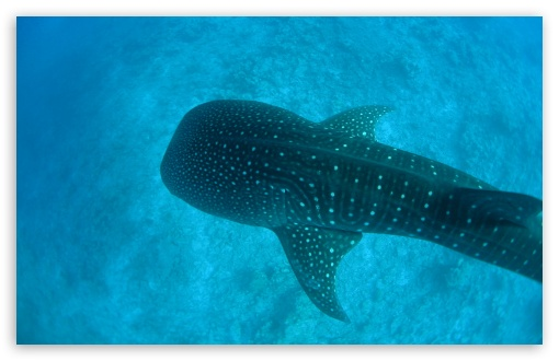 Whale Shark HD wallpaper for Wide 16:10 5:3 Widescreen WHXGA WQXGA WUXGA WXGA WGA ; HD 16:9 High Definition WQHD QWXGA 1080p 900p 720p QHD nHD ; Standard 4:3 5:4 3:2 Fullscreen UXGA XGA SVGA QSXGA SXGA DVGA HVGA HQVGA devices ( Apple PowerBook G4 iPhone 4 3G 3GS iPod Touch ) ; Tablet 1:1 ; iPad 1/2/Mini ; Mobile 4:3 5:3 3:2 16:9 5:4 - UXGA XGA SVGA WGA DVGA HVGA HQVGA devices ( Apple PowerBook G4 iPhone 4 3G 3GS iPod Touch ) WQHD QWXGA 1080p 900p 720p QHD nHD QSXGA SXGA ;