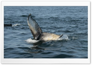 Whale Tail, Brier Island HD Wide Wallpaper for 4K UHD Widescreen desktop & smartphone