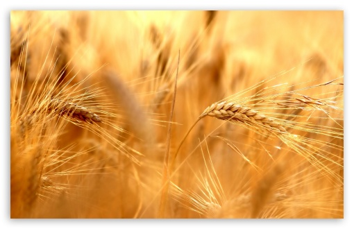 Wheat ❤ 4K UHD Wallpaper for Wide 16:10 5:3 Widescreen WHXGA WQXGA WUXGA WXGA WGA ; 4K UHD 16:9 Ultra High Definition 2160p 1440p 1080p 900p 720p ; Standard 4:3 5:4 3:2 Fullscreen UXGA XGA SVGA QSXGA SXGA DVGA HVGA HQVGA ( Apple PowerBook G4 iPhone 4 3G 3GS iPod Touch ) ; Tablet 1:1 ; iPad 1/2/Mini ; Mobile 4:3 5:3 3:2 16:9 5:4 - UXGA XGA SVGA WGA DVGA HVGA HQVGA ( Apple PowerBook G4 iPhone 4 3G 3GS iPod Touch ) 2160p 1440p 1080p 900p 720p QSXGA SXGA ; Dual 16:10 5:3 16:9 4:3 5:4 WHXGA WQXGA WUXGA WXGA WGA 2160p 1440p 1080p 900p 720p UXGA XGA SVGA QSXGA SXGA ;