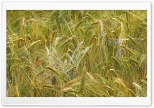 Wheat HD Wide Wallpaper for Widescreen