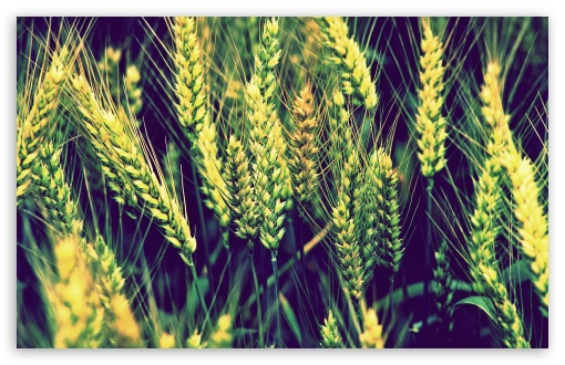 Wheat ❤ 4K UHD Wallpaper for Wide 16:10 5:3 Widescreen WHXGA WQXGA WUXGA WXGA WGA ; 4K UHD 16:9 Ultra High Definition 2160p 1440p 1080p 900p 720p ; Standard 4:3 5:4 3:2 Fullscreen UXGA XGA SVGA QSXGA SXGA DVGA HVGA HQVGA ( Apple PowerBook G4 iPhone 4 3G 3GS iPod Touch ) ; Tablet 1:1 ; iPad 1/2/Mini ; Mobile 4:3 5:3 3:2 16:9 5:4 - UXGA XGA SVGA WGA DVGA HVGA HQVGA ( Apple PowerBook G4 iPhone 4 3G 3GS iPod Touch ) 2160p 1440p 1080p 900p 720p QSXGA SXGA ;