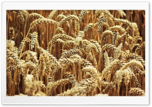 Wheat HD Wide Wallpaper for 4K UHD Widescreen desktop & smartphone