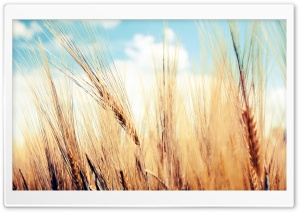 Wheat Ears Ultra HD Wallpaper for 4K UHD Widescreen desktop, tablet & smartphone