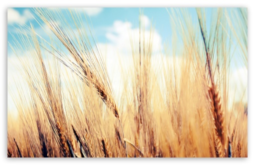Wheat Ears ❤ 4K UHD Wallpaper for Wide 16:10 5:3 Widescreen WHXGA WQXGA WUXGA WXGA WGA ; 4K UHD 16:9 Ultra High Definition 2160p 1440p 1080p 900p 720p ; Standard 4:3 5:4 3:2 Fullscreen UXGA XGA SVGA QSXGA SXGA DVGA HVGA HQVGA ( Apple PowerBook G4 iPhone 4 3G 3GS iPod Touch ) ; Tablet 1:1 ; iPad 1/2/Mini ; Mobile 4:3 5:3 3:2 16:9 5:4 - UXGA XGA SVGA WGA DVGA HVGA HQVGA ( Apple PowerBook G4 iPhone 4 3G 3GS iPod Touch ) 2160p 1440p 1080p 900p 720p QSXGA SXGA ; Dual 16:10 5:3 4:3 5:4 WHXGA WQXGA WUXGA WXGA WGA UXGA XGA SVGA QSXGA SXGA ;