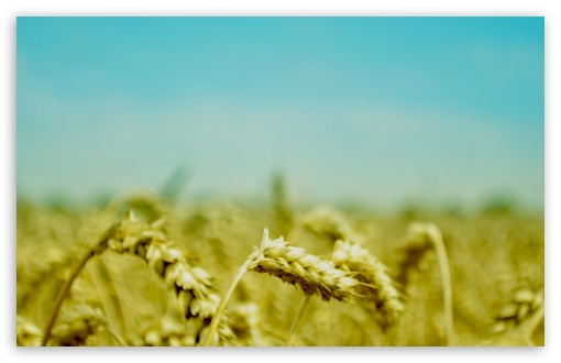 Wheat Ears HD wallpaper for Wide 16:10 5:3 Widescreen WHXGA WQXGA WUXGA WXGA WGA ; HD 16:9 High Definition WQHD QWXGA 1080p 900p 720p QHD nHD ; Standard 4:3 5:4 3:2 Fullscreen UXGA XGA SVGA QSXGA SXGA DVGA HVGA HQVGA devices ( Apple PowerBook G4 iPhone 4 3G 3GS iPod Touch ) ; Tablet 1:1 ; iPad 1/2/Mini ; Mobile 4:3 5:3 3:2 16:9 5:4 - UXGA XGA SVGA WGA DVGA HVGA HQVGA devices ( Apple PowerBook G4 iPhone 4 3G 3GS iPod Touch ) WQHD QWXGA 1080p 900p 720p QHD nHD QSXGA SXGA ; Dual 16:10 5:3 16:9 4:3 5:4 WHXGA WQXGA WUXGA WXGA WGA WQHD QWXGA 1080p 900p 720p QHD nHD UXGA XGA SVGA QSXGA SXGA ;