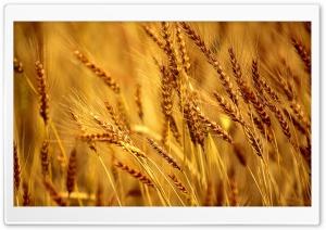 Wheat Field HD Wide Wallpaper for 4K UHD Widescreen desktop & smartphone