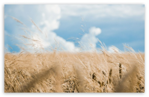 Wheat Field HD wallpaper for Standard 4:3 5:4 Fullscreen UXGA XGA SVGA QSXGA SXGA ; Wide 16:10 5:3 Widescreen WHXGA WQXGA WUXGA WXGA WGA ; HD 16:9 High Definition WQHD QWXGA 1080p 900p 720p QHD nHD ; Other 3:2 DVGA HVGA HQVGA devices ( Apple PowerBook G4 iPhone 4 3G 3GS iPod Touch ) ; Mobile VGA WVGA iPhone iPad PSP Phone - VGA QVGA Smartphone ( PocketPC GPS iPod Zune BlackBerry HTC Samsung LG Nokia Eten Asus ) WVGA WQVGA Smartphone ( HTC Samsung Sony Ericsson LG Vertu MIO ) HVGA Smartphone ( Apple iPhone iPod BlackBerry HTC Samsung Nokia ) Sony PSP Zune HD Zen ; Tablet 2 Android ; Dual 5:4 QSXGA SXGA ;