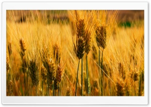 Wheat Field HD Wide Wallpaper for 4K UHD Widescreen desktop & smartphone