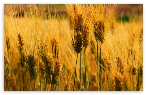 Wheat Field ❤ 4K UHD Wallpaper for Wide 16:10 5:3 Widescreen WHXGA WQXGA WUXGA WXGA WGA ; Standard 4:3 5:4 3:2 Fullscreen UXGA XGA SVGA QSXGA SXGA DVGA HVGA HQVGA ( Apple PowerBook G4 iPhone 4 3G 3GS iPod Touch ) ; Tablet 1:1 ; iPad 1/2/Mini ; Mobile 4:3 5:3 3:2 5:4 - UXGA XGA SVGA WGA DVGA HVGA HQVGA ( Apple PowerBook G4 iPhone 4 3G 3GS iPod Touch ) QSXGA SXGA ;
