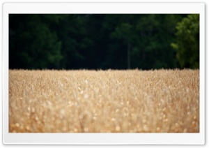 Wheat Field - Location Scouting HD Wide Wallpaper for Widescreen