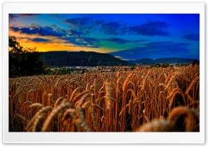Wheat Field At Twilight HD Wide Wallpaper for 4K UHD Widescreen desktop & smartphone