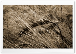 Wheat Field Background HD Wide Wallpaper for Widescreen