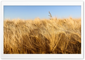 Wheat Field Ready For Harvesting Under Blue Sky HD Wide Wallpaper for Widescreen